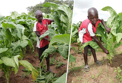 Why There Is A Piece Of Child Labour In Every Cigarette-Tobacco Cultivation In Africa