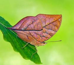 Orange Oakleaf (Kallima inachus)