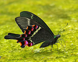 Krishna Peacock (Papilio krishna)