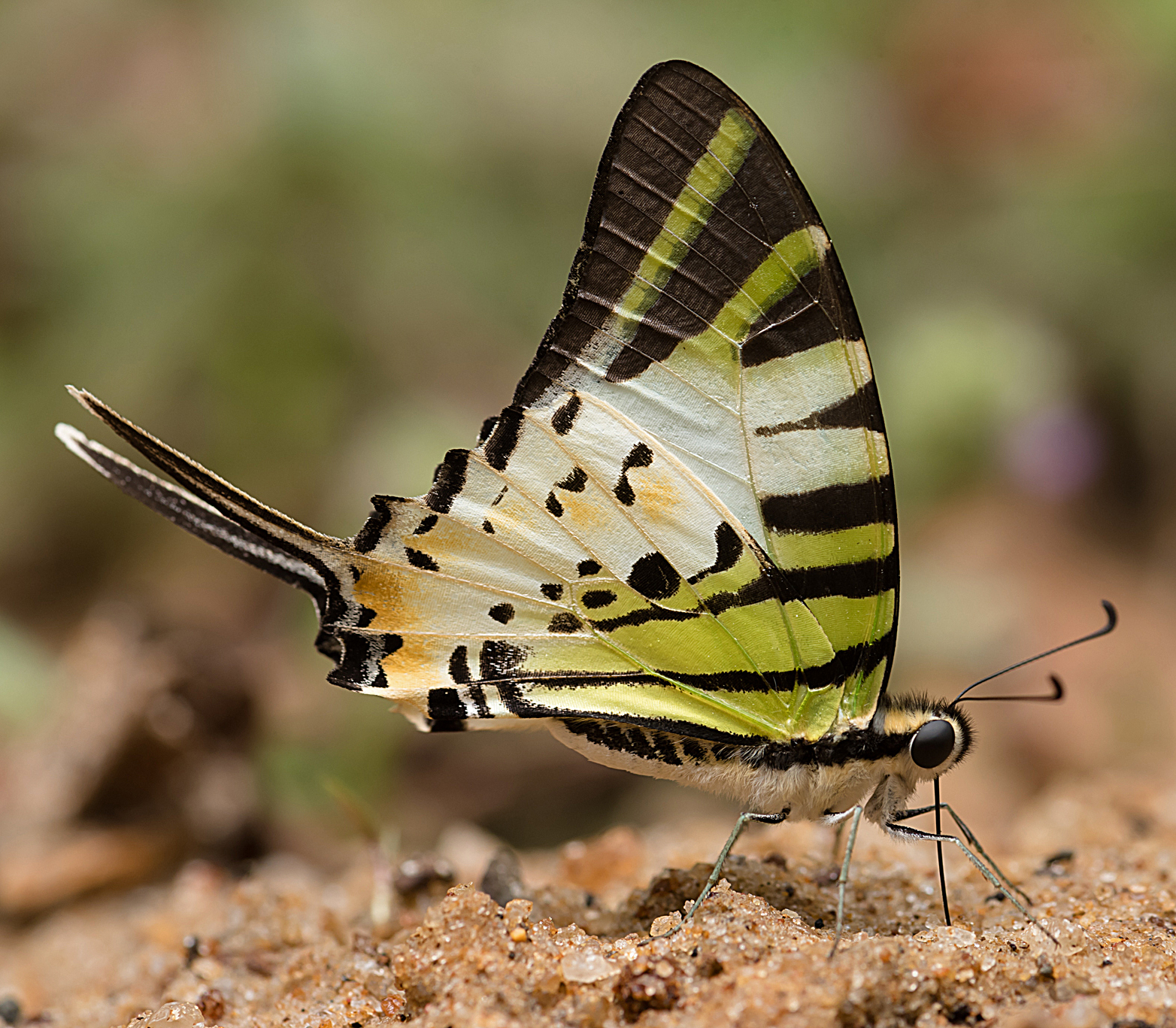 Five-bar Swordtail (Graphium antiphates)