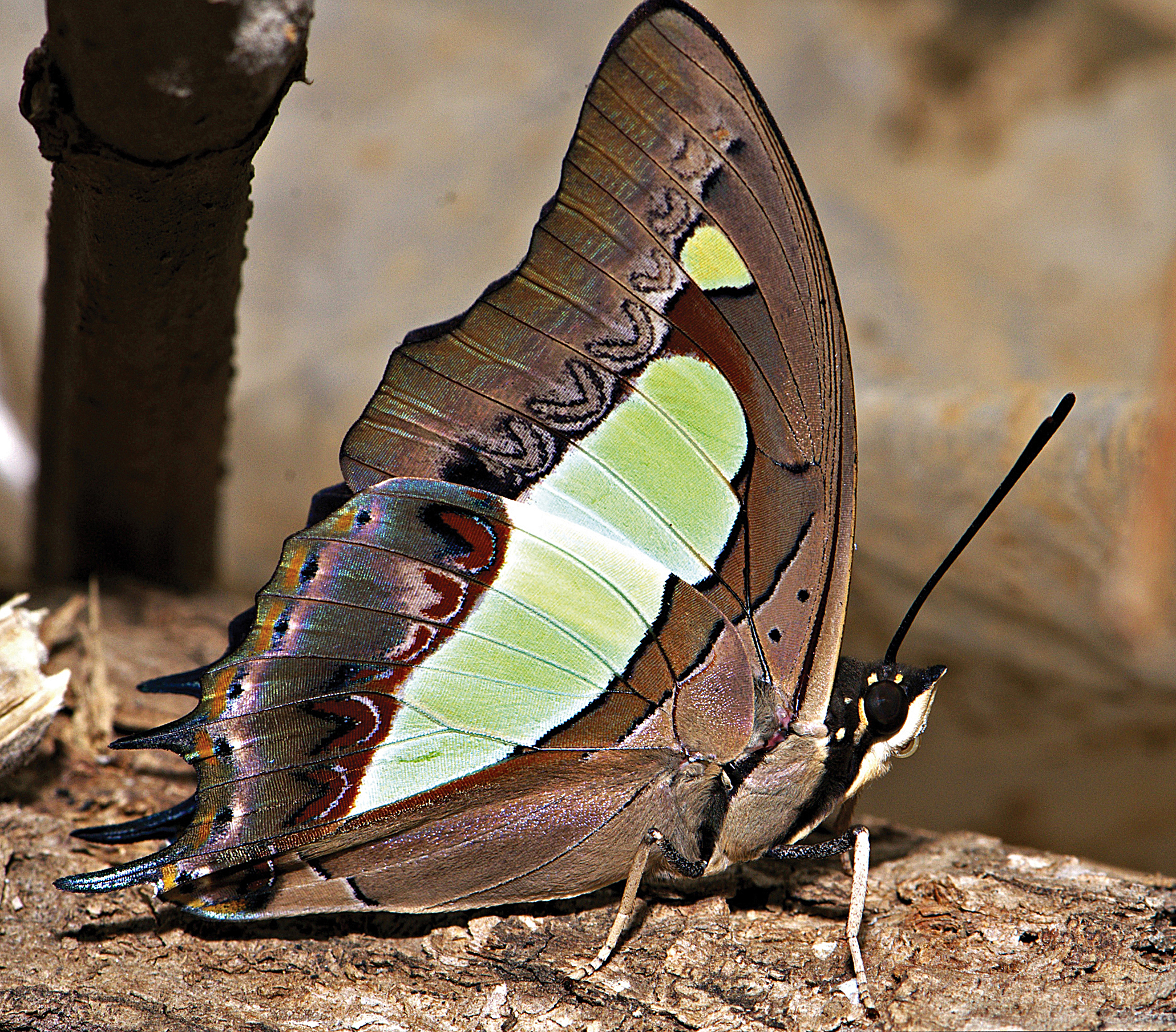 Common Nawab (Charaxes bharata)