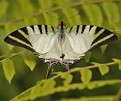 Five-bar Swordtail (Graphium antiphates)