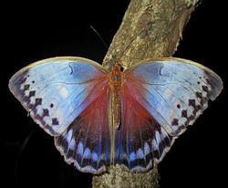 Northern Junglequeen (Stichophthalma camadeva)