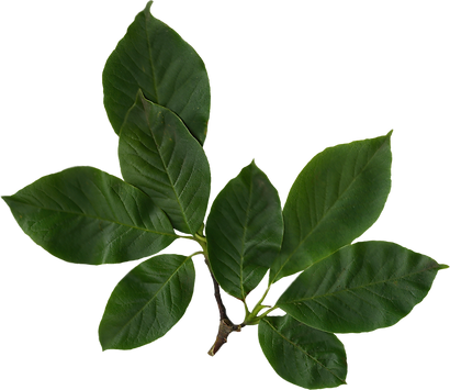 PngJoy_green-leaf-magnolia-leaves-png-hd