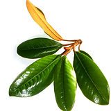 magnolia-grandiflora-leaves-close-up.jpg