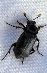 nicrophorus-humator---5-may-2013-great-k