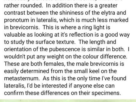 Sericoderus lateralis/brevicornis