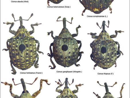 Figwort Weevils