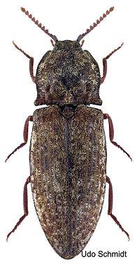 1200px-Agrypnus_murinus_(Linnaeus%2C_175