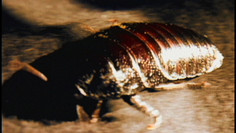 madagascar-cockroach_6882351767_o.jpg