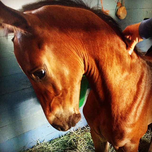 Miss this little baby! Caloubet _) soon he will have a full sibling! #swedeequine #foals #beautiful