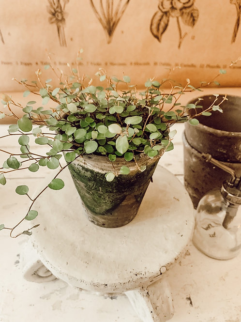 Angel Vine Potted Plant