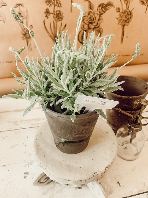 Lavender (Large Pot)