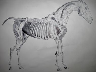 Anatomy of a Horse, George Hobbs study