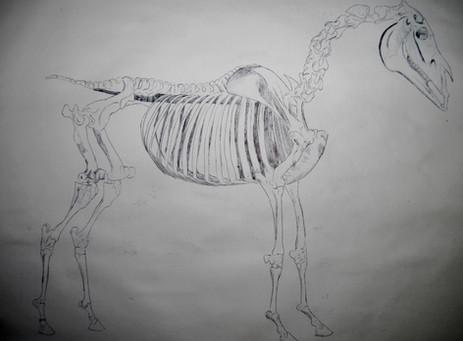 Skeleton of a Horse, George Hobbs study