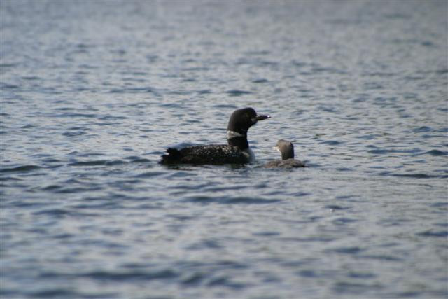 Loon mother and chick