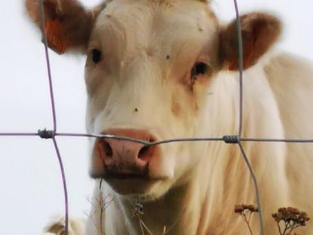 Als koeien konden spreken - een filosofisch stukje