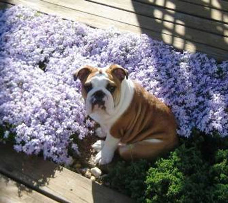 Lavendar Pup.jpg