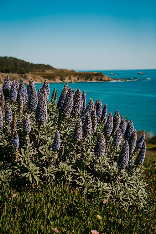 Midshot Northern California Lavenders