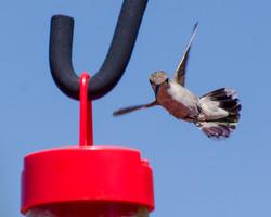 Hum Birds 8-19-15_0389