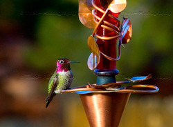 Ruby Hummingbird_5263 copy