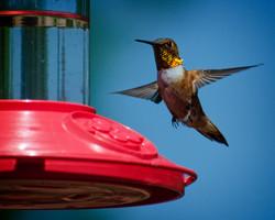 Hum Birds 8-19-15_0456