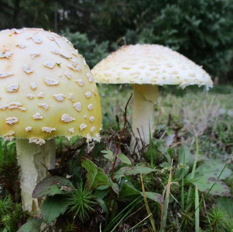 Buddy Mushrooms