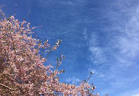 cherry tree behind UU Church.JPG
