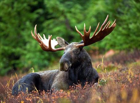 Schwedische Wildtiere: Älgen!