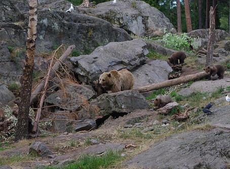 Schwedische Wildtiere: brunbjörnen
