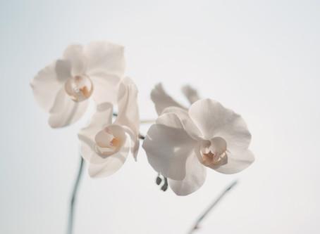 Dendrobium 石斛蘭