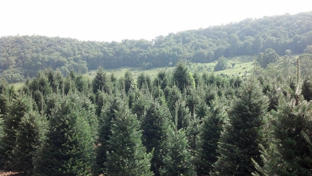 Shop Christmas Trees Now!