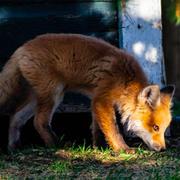Fox and sunshine
