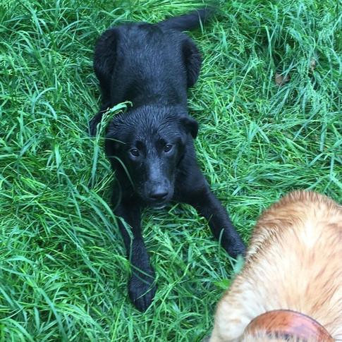 Hallo, das ist Luna, eine ca 7 Monate alte, zurzeit 48cm große Labrador Mischlingshündin.  Luna ist eine sanfte und ehr unterwürfige Hündin. Anfangs ist sie etwas schüchtern, aber fasst sehr schnell vertrauen. Luna ist absolut verträglich mit Artgenossen. Altersentsprechend ist sie eine verspielte Hündin.  Luna ist geimpft, gechipt und hat einen Pass.