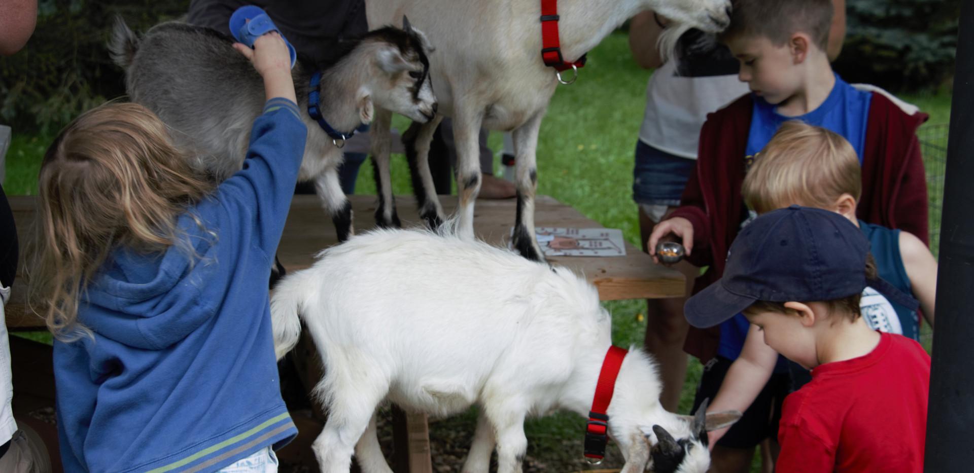 Feeding and brushing the goats.jpg
