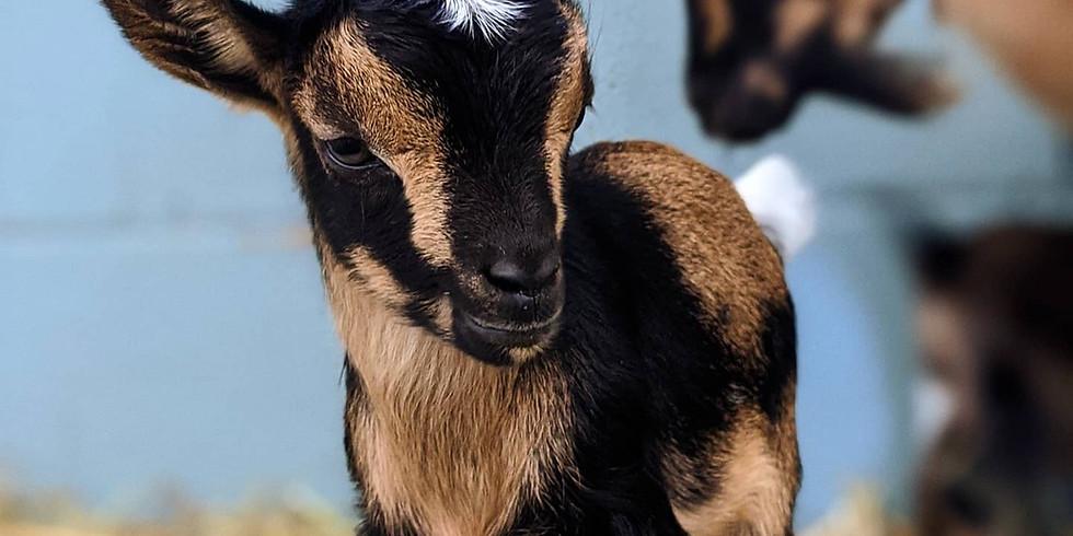 Goat Yoga - Sept 19, 2020 - 10:30 AM