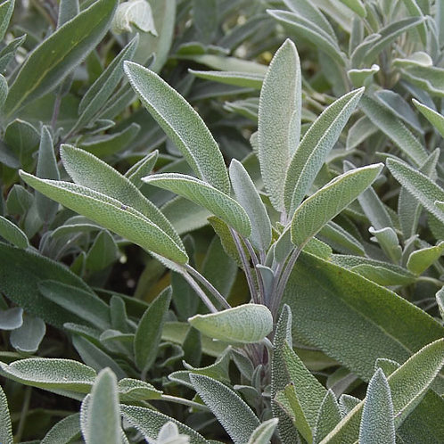 Sage, Green Culinary (Salvia Officinalis)