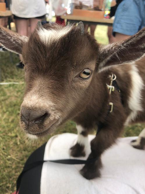 Farm Fresh Adventures for Kids - July 8 - Goats