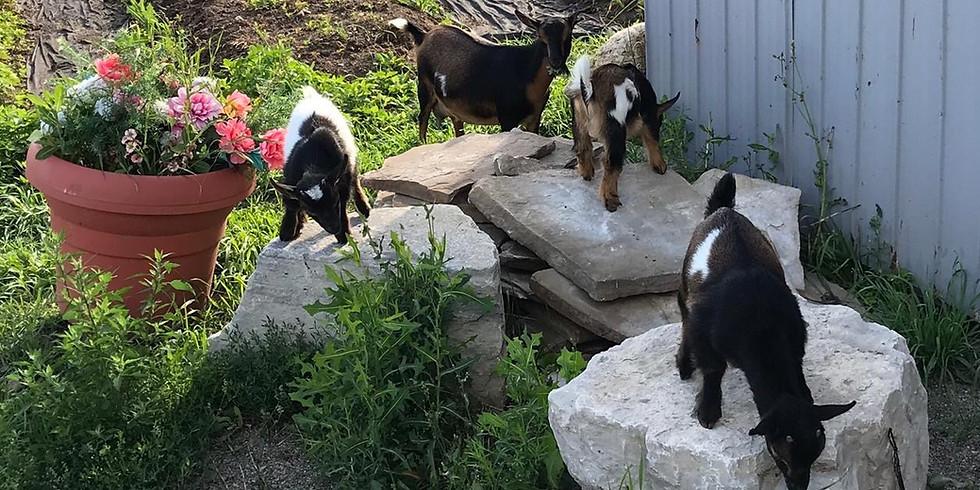 Goat Yoga - Trial Class
