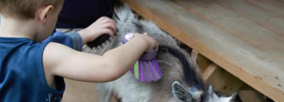 Feeding and brushing the goats2.jpg