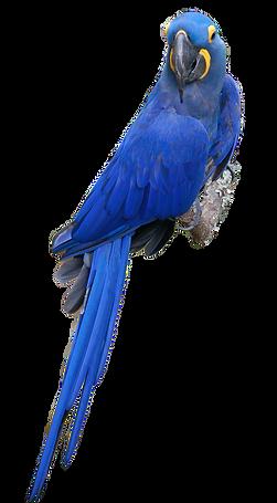 pappagallo ara png.png