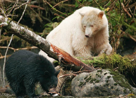 White Spirit Bears In Their Natural Habitat, My Story.