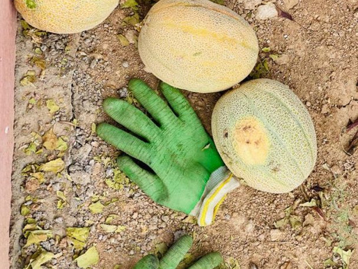 Rotting Melons and Seedlings