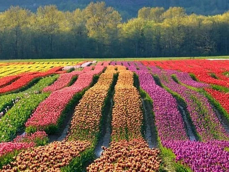 Самый большой парк тюльпанов