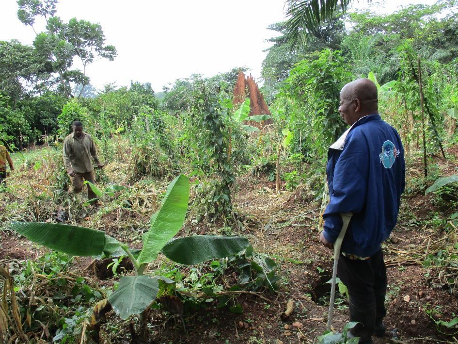 Champs-école paysan planté en agroforesterie de la PROCAB au Togo