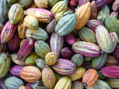 Des innovations environnementales pour des filières cacao durables en Afrique de l'Ouest