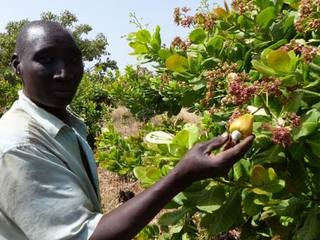 Covid-19: des nouvelles des filières équitables en Afrique de l'Ouest