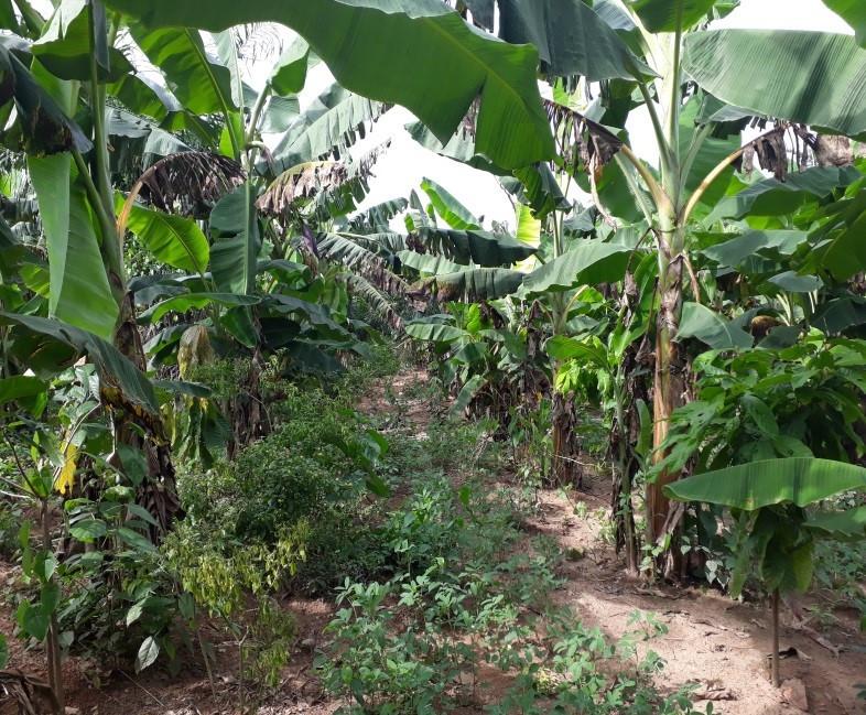 Champs-école paysan planté en agroforesterie de la CAMAYE en Côte d'Ivoire