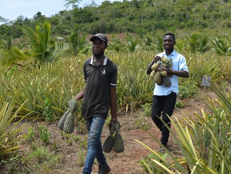 Ghana : ACCOPS & AMOPPA développe une gamme de produits transformés d'ananas