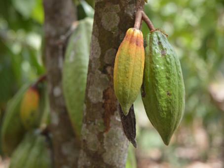 Cacao : on fait le point !